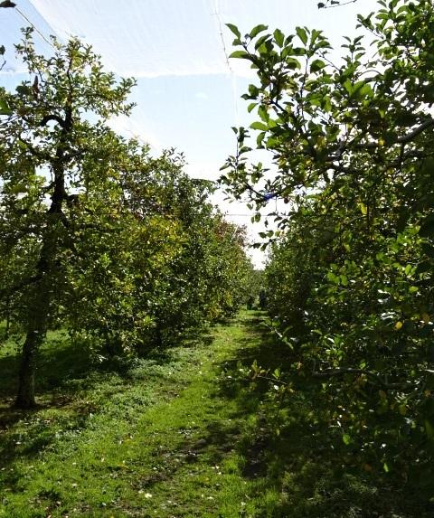 リンゴ狩り2.jpg