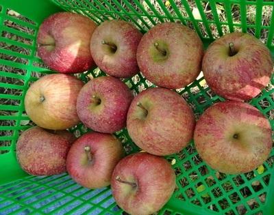リンゴ狩り7.jpg