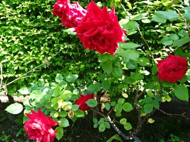 咲いたバラ2.jpg