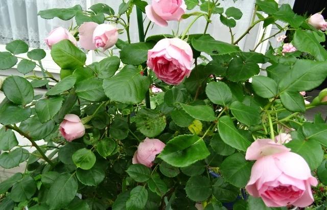 咲いたバラ6.jpg