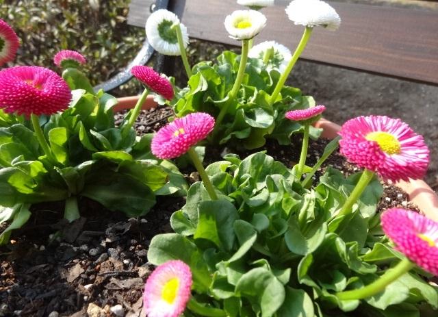 家の庭に咲く花1.jpg