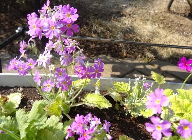 家の庭に咲く花2.jpg