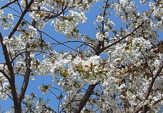 山桜?1.jpg
