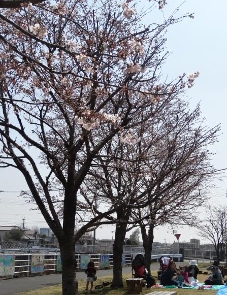 染井吉野8.jpg