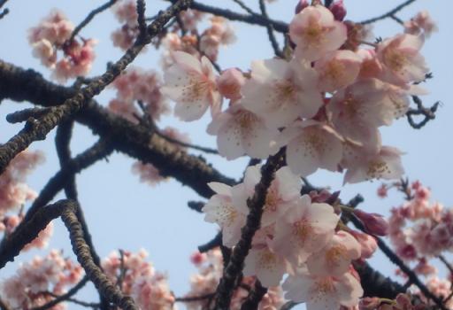 熱海桜2.jpg