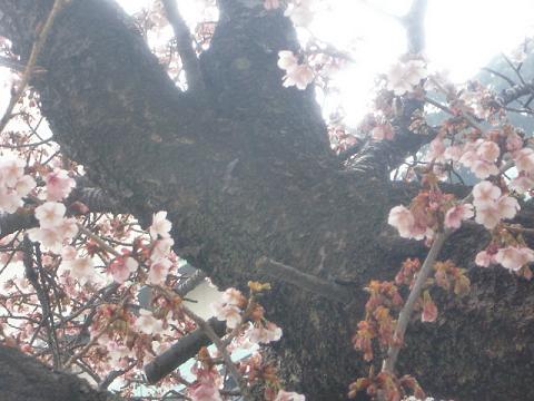 熱海桜3.jpg