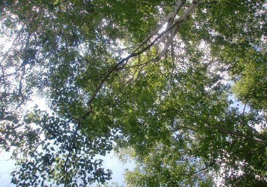 白樺林5.jpg