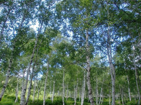 白樺林6.jpg