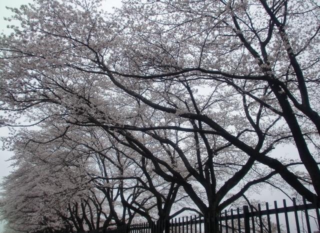 見頃を迎えた桜1.jpg