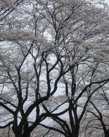 見頃を迎えた桜2.jpg