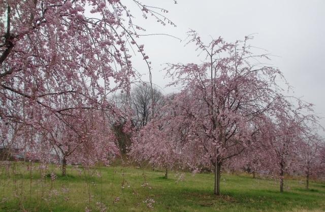 見頃を迎えた桜3.jpg