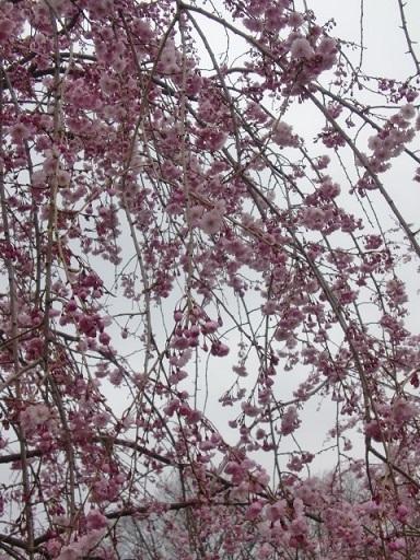 見頃を迎えた桜4.jpg