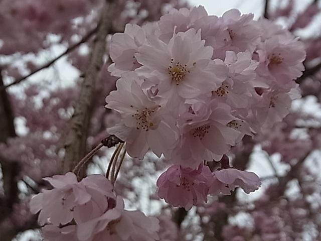 見頃を迎えた桜5.jpg