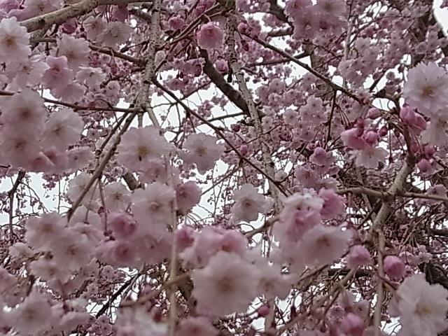 見頃を迎えた桜6.jpg