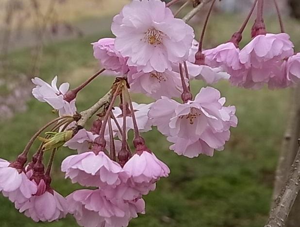 見頃を迎えた桜7.jpg