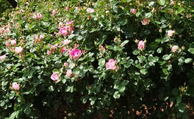 はままつフラワーパークの薔薇1.jpg