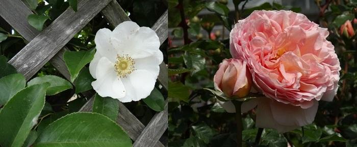 はままつフラワーパークの薔薇4.jpg