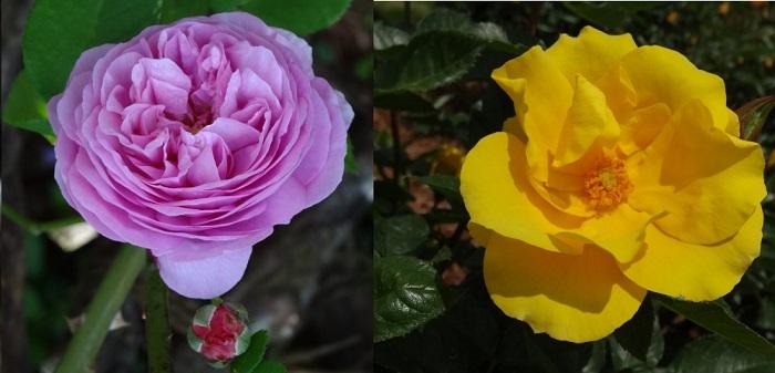 はままつフラワーパークの薔薇6.jpg