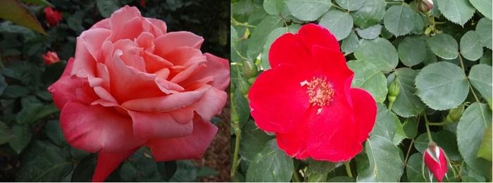 はままつフラワーパークの薔薇9.jpg