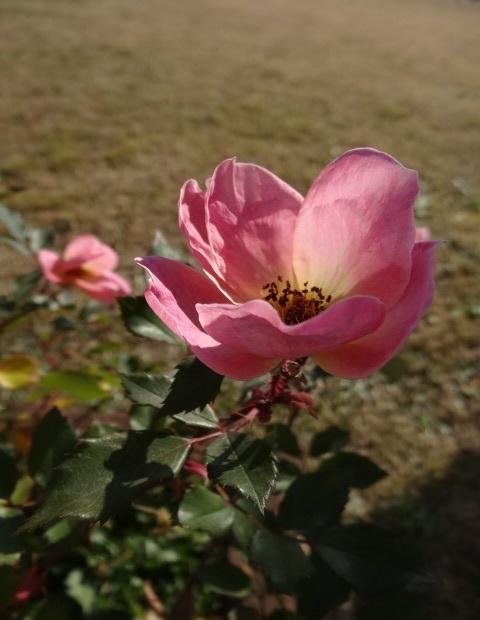 バラの写真0.jpg