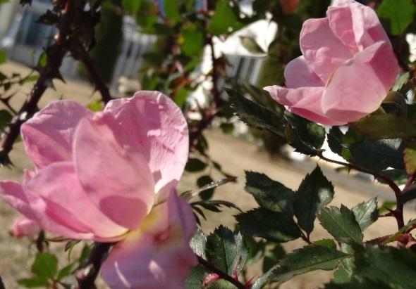 バラの写真1.jpg