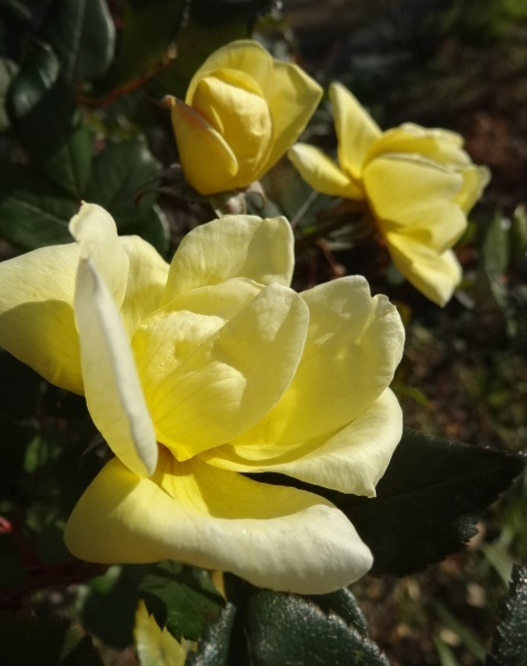 バラの写真2.jpg
