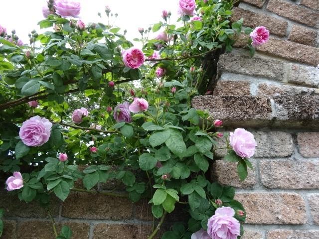 バラの花達1.jpg
