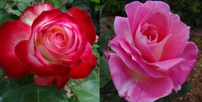 バラの花達6.jpg
