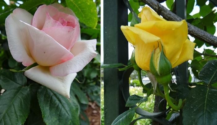 バラの花達7.jpg