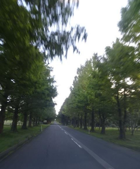 メタセコイア6.jpg