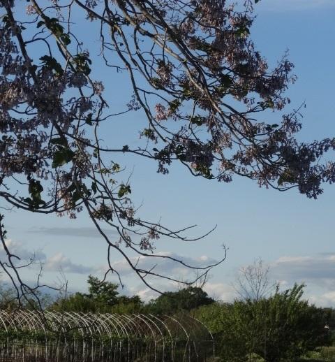 桐の花3.jpg