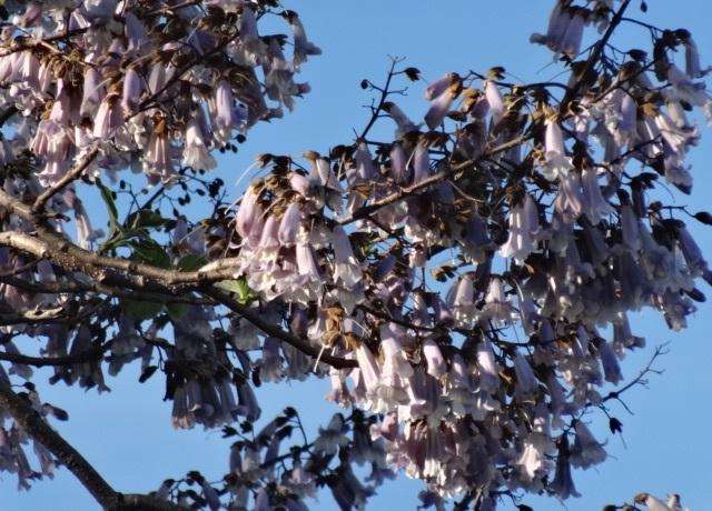 桐の花4.jpg