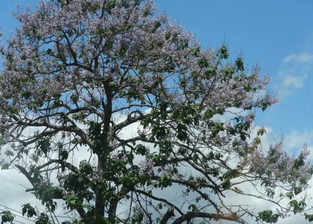 桐の花8.jpg