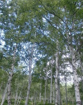 白樺林2.jpg