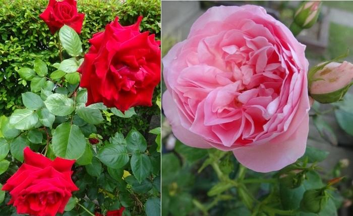 薔薇1.jpg
